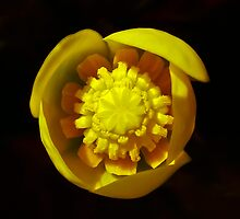 Perfect waterlily by Toni Holopainen