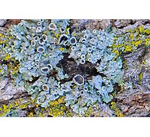 two of Weedy Field's most prevalent lichen Photographic Print