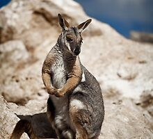 Yellow Footed Rock Wallaby by JimFilmer