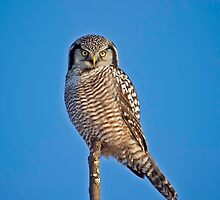Perched Northern Hawk Owl  by Daniel  Parent