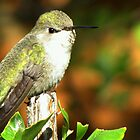 Hummingbird ~ Costa&#x27;s (Female) by Kimberly P-Chadwick