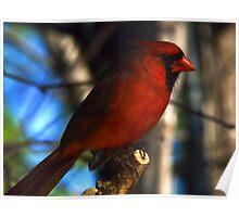 ~Northern Cardinal~ Poster