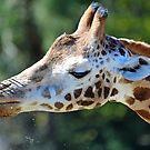 Giraffe At The Orana Wildlife Park, Christchurch, South Island, New Zealand. by Ralph de Zilva