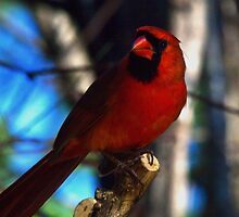 ~Northern Cardinal~ by Kelly Normandeau