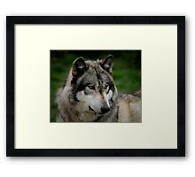 A WOLF PORTRAIT Framed Print