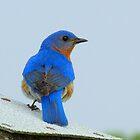 Eastern Bluebird Displaying His Brillant Feathers by Robert Miesner