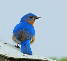 Eastern Bluebird Displaying His Brillant Feathers Photographic Print