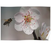 Bee in Flight with Almond Blossom Poster