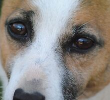 Jack Russell Dog, Close up by Heather Samsa