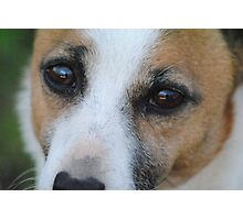 Jack Russell Dog, Close up Photographic Print