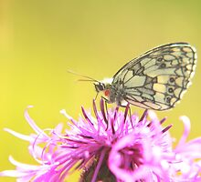 The stunning marbled white butterfly by miradorpictures