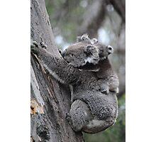 Koala and Baby - Cape Otway, Victoria Photographic Print