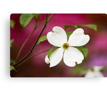 White Flowering Dogwood Blossom Canvas Print