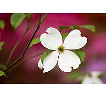 White Flowering Dogwood Blossom Photographic Print