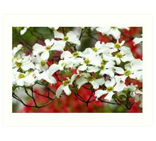 White Flowering Dogwood Blossoms Art Print