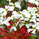 White Flowering Dogwood Blossoms by Oscar Gutierrez