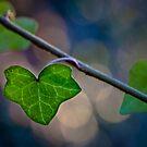 Ivy Leaves by geoff curtis