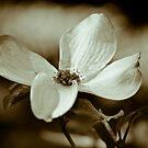 Monochrome Flowering Dogwood Blossom by Oscar Gutierrez