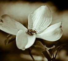 Monochrome Flowering Dogwood Blossom by Oscar Gutierrez