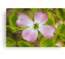 Pink Flowering Dogwood Blossom Canvas Print