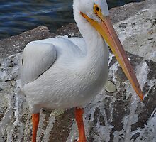 American White Pelican by venny