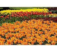 Colorful Tulip Garden Photographic Print