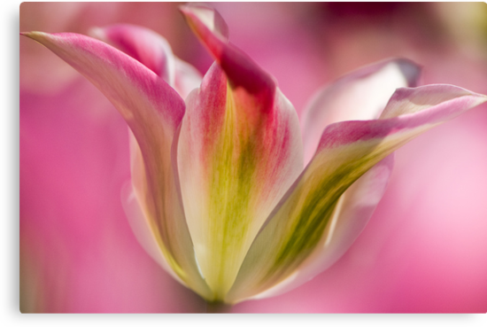 Green and Pink Tulip by Oscar Gutierrez