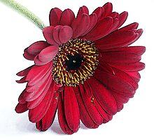 Red Gerbera by OpalFire