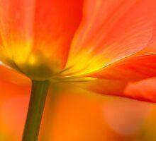 Orange Tulip by Oscar Gutierrez