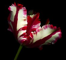 White and Red Tulip II by Oscar Gutierrez