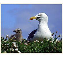 Herring Gull and Chick Photographic Print