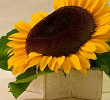 Short Petaled Sunflower In Star Box by Sandra Foster