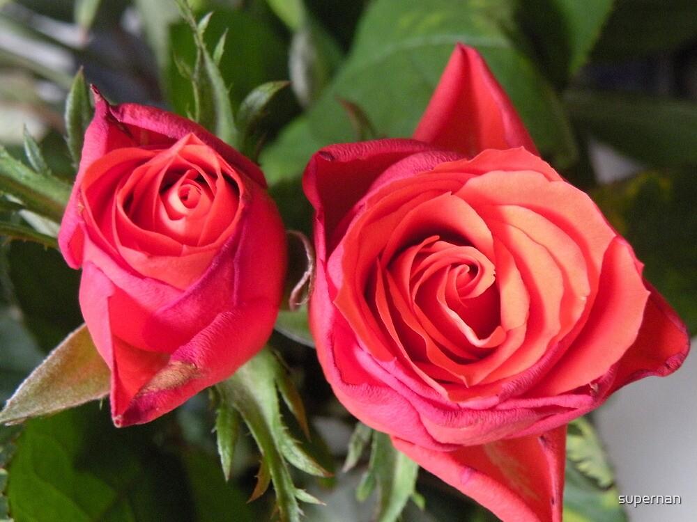 Blushing beauty's... by supernan