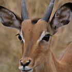 Impala in Kruger by Daniel Mulcahy