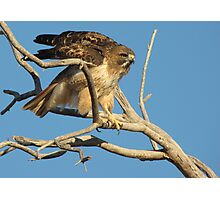 Red-tailed Hawk ~ Adjustment Photographic Print