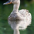 Female Mallard by Peter Denness