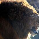 Yawning Lion by mjds