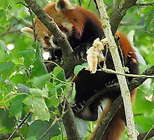 Red Panda by MacsfieldImages