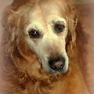 Shelby my Beautiful Golden Retriever..She may be old, but the love of my life. by vette