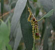 Emperor Moth Caterpillar by fungifun