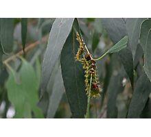 Emperor Moth Caterpillar Photographic Print