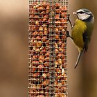 Blue Tit Feeding by MacsfieldImages