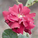 Beautiful Rose by Dwayne Madden