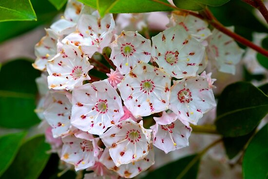 Pennsylvania Mountain Laurel - Kalmia latifolia (as-is)  by Gene Walls