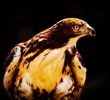 Red Tailed Hawk by Sue Ratcliffe