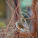White Crowned Sparrow On A Winter Day by Diana Graves Photography