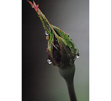 Rosebud in rain, caught in Macro Photographic Print