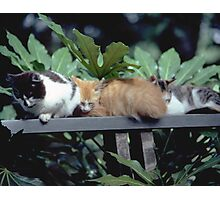 Country Calico  Kittens Napping in a Spot of Sun Photographic Print