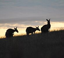 Kangaroos at Sunset - Whittlesea, Victoria by Heather Samsa