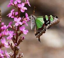 Trigger plant (Stylidium graminifolium) and Macleay's Swallowtail (Graphium macleayanus) by Paul Piko